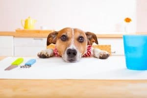 No Leftovers - Dog Eating Table Scraps