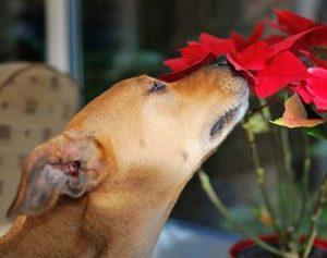 dog pointsettia