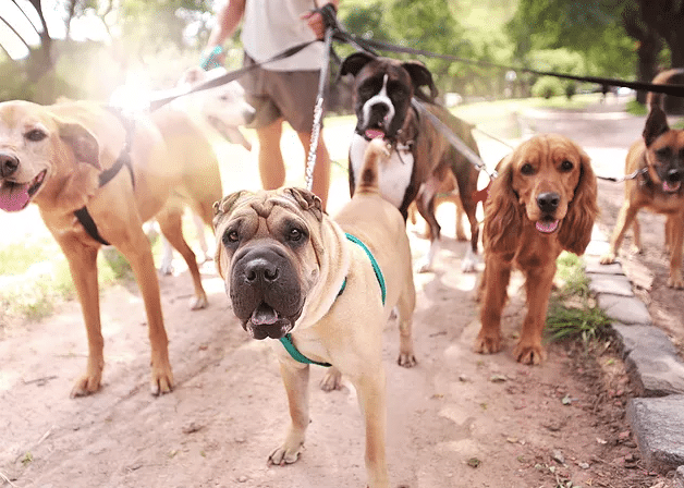 5 Signs you need a Dog Walker